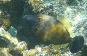 Whitespotted Filefish normal phase