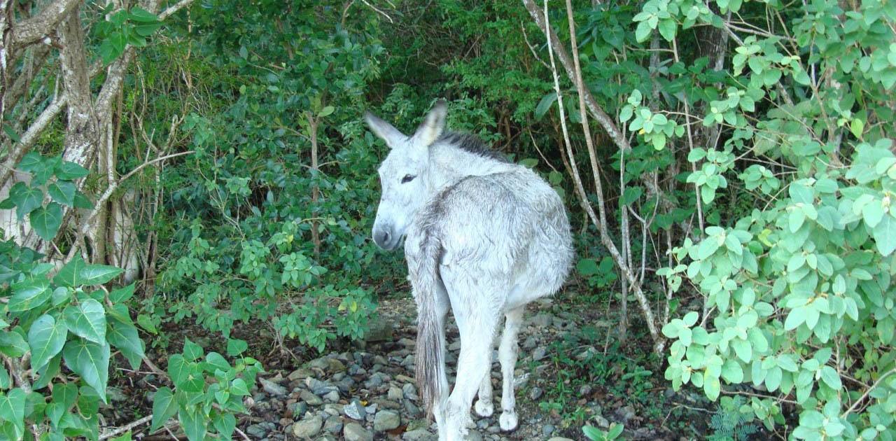 Wild Donkey on St John USVI