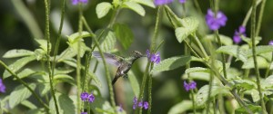Green Throated Carib Hummingbird