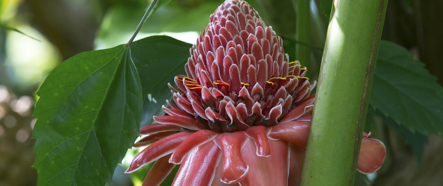 Pink Torch Ginger Flower