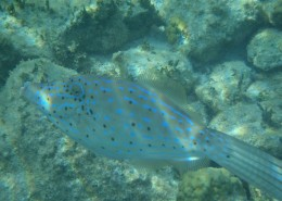 Scrawled Filefish neon phase