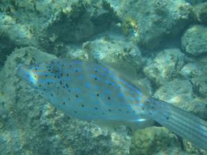 Scrawled Filefish neon phase