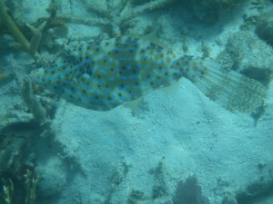 Scrawled Filefish dark olive brown colouring
