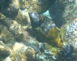 Whitespotted Filefish with spot phase
